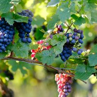 Wine Grapes can be used to Strengthen Bioplastics