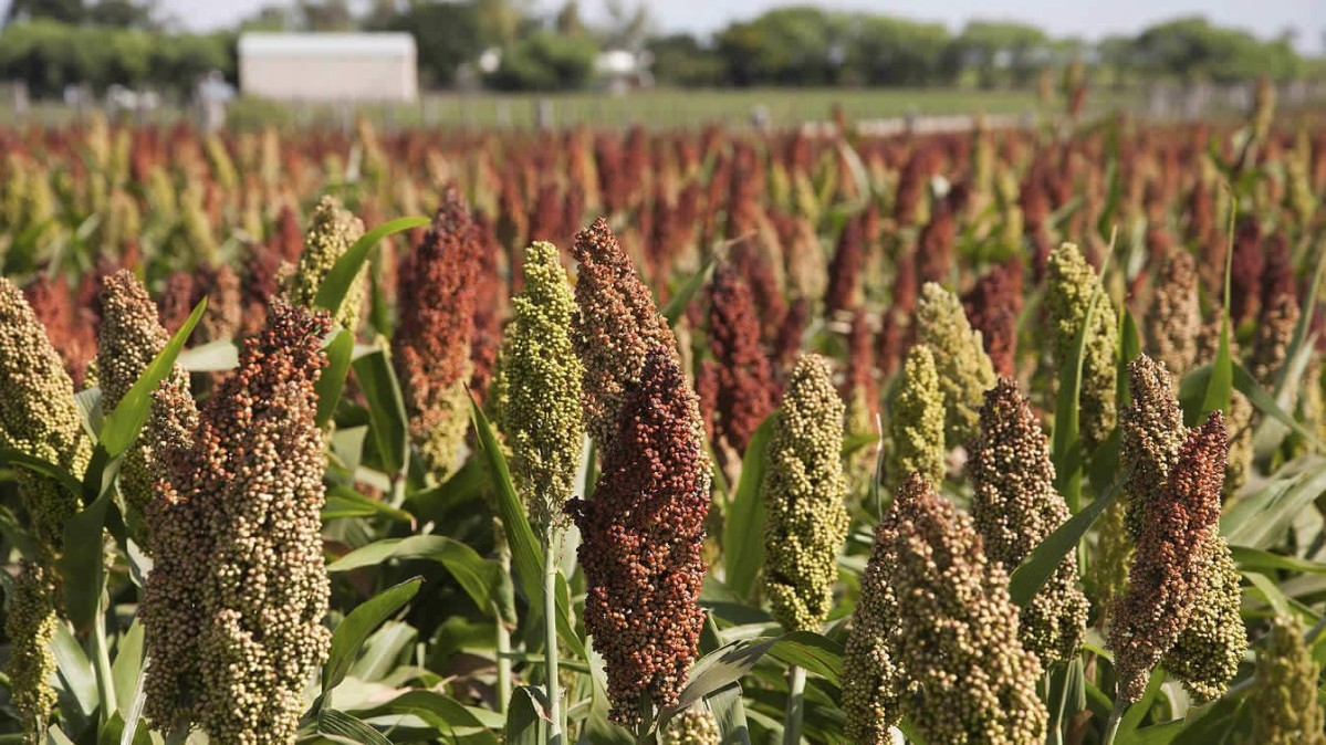 India is going for Sorghum Bioplastics